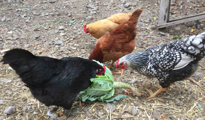 Four of our chickens
