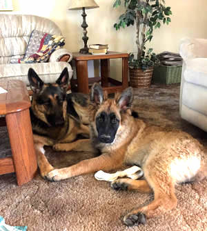 Our two German Shepherds