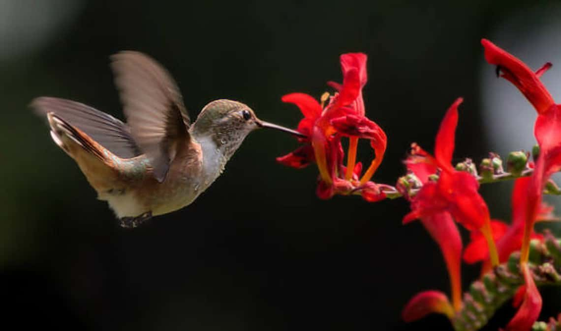 female hummingbird feeding from red flowers