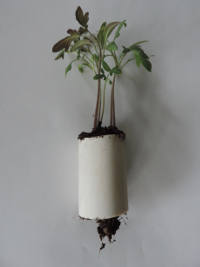 black krim tomato seedling in pvc plug