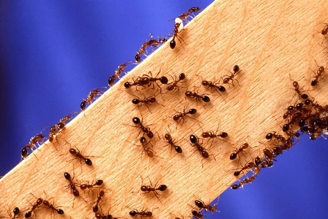 Ants walking on a piece of wood.